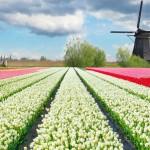 moulins-tulipes.1482117.104